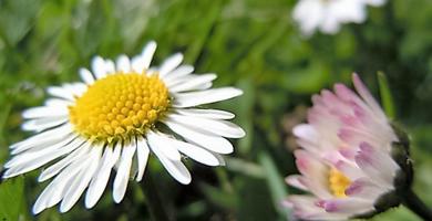 Bellis perennis - das Gänseblümchen hilft bei Wechselbeschwerden.