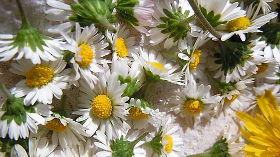 Gänseblümchen-Ernte