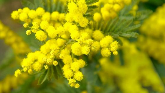 In Italien bekommen Frauen am 8. März Mimosen geschenkt